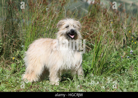Dog Pyrenean Shepherd adult standing in a meadow fawn - Stock Photo