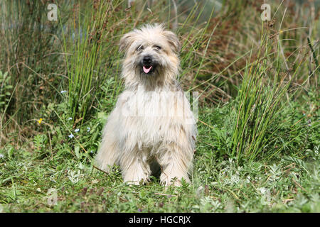 Dog Pyrenean Shepherd adult sitting in a meadow fawn - Stock Photo