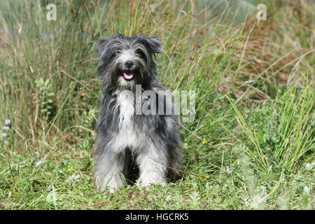 Dog Pyrenean Shepherd adult standing in a meadow blue merle - Stock Photo