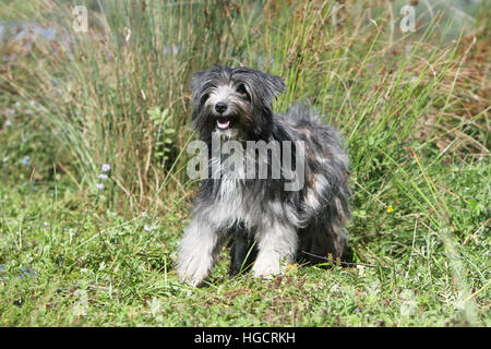 Dog Pyrenean Shepherd adult standing in a meadow  beach blue merle - Stock Photo
