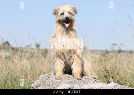 Dog Pyrenean Shepherd adult adults fawn on a rock standing - Stock Photo