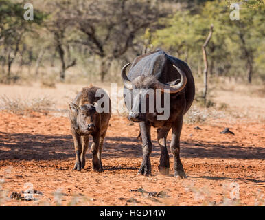 African Buffalo mother and calf - Stock Photo