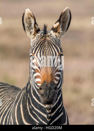 Portrait of a Cape Mountain Zebra in Southern African savannah - Stock Photo