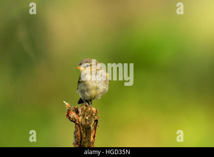 Wood warbler (Phylloscopus sibilatrix) summer, sitting on a branch on a green background of foliage of trees with - Stock Photo