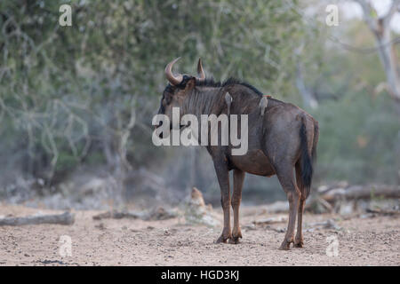 single blue Wildebeest Connochaetes taurinus with oxpeckers on its back standing in profile - Stock Photo