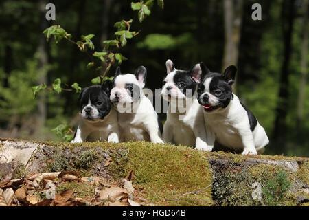 Dog French Bulldog / Bouledogue Français four quatre 4 puppy puppies on a tree stump on a wood a log forest black - Stock Photo