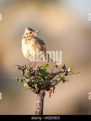 Rufous-naped Lark, (irafra africana) - Stock Photo