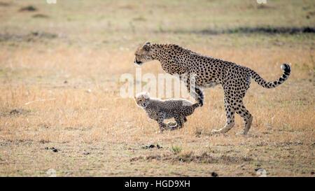 Cheetah (Acinonyx jubatus) and Cub Running - Stock Photo