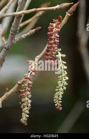 Populus nigra ssp. betulifolia - Stock Photo