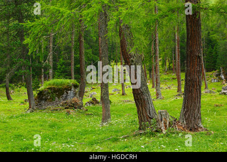 Coniferous forest in summer, Switzerland - Stock Photo