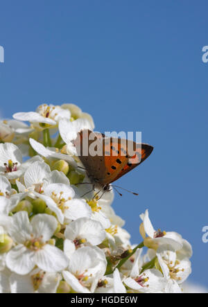 Small Copper Lycaena phlaeas Single adult feeding on flowers of Sea Kale, Crambe maritima Minsmere, Suffolk, UK - Stock Photo