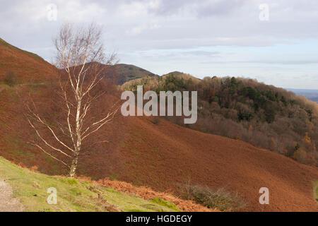 Lone Silver Birch tree, Betula pendula, in The Malvern Hills. Taken November. Worcestershire, UK. - Stock Photo