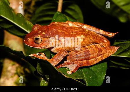 Madagascar brown tree frog (Boophis madagascariensis) on a leaf, Analamazoatra, Andasibe-Mantadia National Park, Madagascar