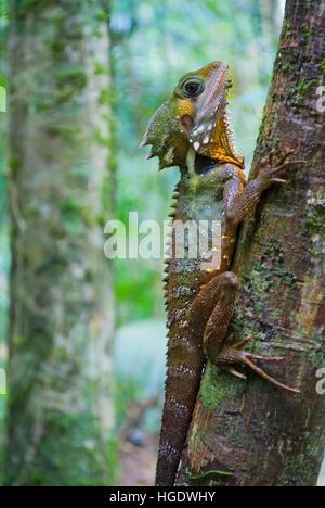 Australian lizard in a tropical rainforest - Stock Photo