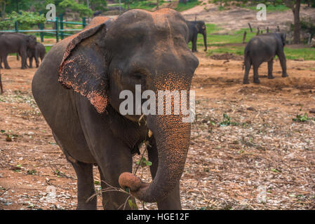 Sri lanka: captive elephants in Pinnawala - Stock Photo