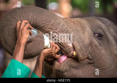 Baby elephant being feed with milk in Pinnawala, Sri Lanka - Stock Photo