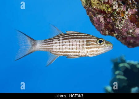 Red Sea, Egypt. 4th Nov, 2016. Largetoothed Cardinalfish, Pacific tiger cardinalfish or Big-toothed cardinal (Cheilodipterus - Stock Photo