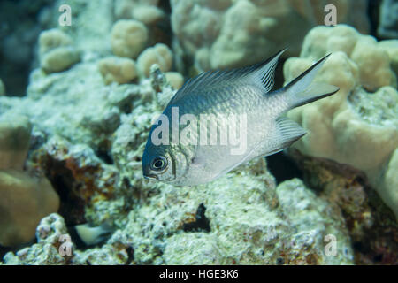 Red Sea, Egypt. 4th Nov, 2016. Maldives damselfish or Pale Damselfish (Amblyglyphidodon indicus) floats on a background - Stock Photo