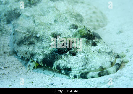 Red Sea, Egypt. 4th Nov, 2016. Tentacled flathead or Crocodilefish (Papilloculiceps longiceps), Red sea, Sharm El - Stock Photo