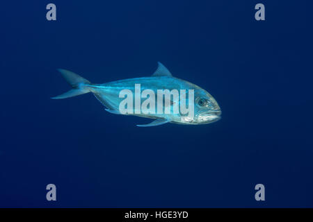 Red Sea, Egypt. 4th Nov, 2016. Greater amberjack or Allied kingfish (Seriola dumerili) on blue background, Red sea, - Stock Photo