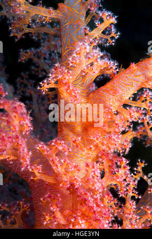 Red Sea, Egypt. 4th Nov, 2016. Close-up - soft coral (Dendronephthya hemprichi) Red sea, Sharm El Sheikh, Sinai - Stock Photo