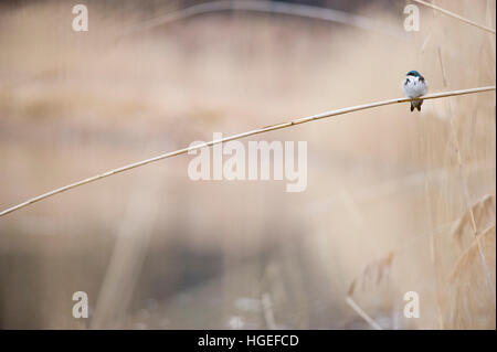 A tiny Tree Swallow perches on a bent Phragmite reed on a cloudy day. - Stock Photo