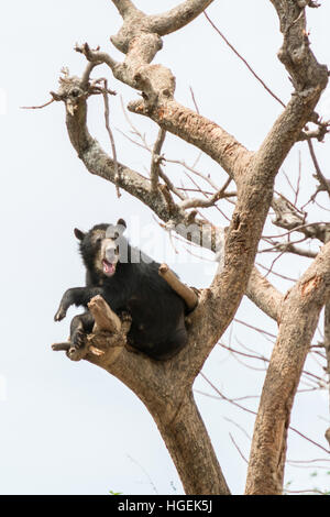 Peruvian Spectacled Bear (Tremarctos Ornatus) rests high in a tree at the Chaparri reserve near Chongoyape, northern - Stock Photo