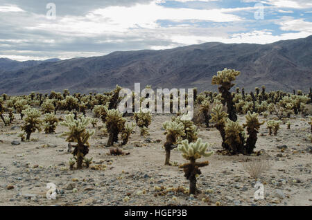Cholla cactus garden in Joshua Tree National Park - Stock Photo