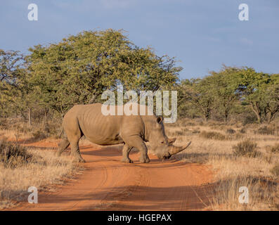 White Rhino in Southern African savanna - Stock Photo