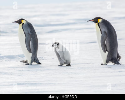 An Emperor Penguin chick on a walk between two adults - Stock Photo