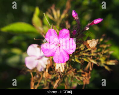 Garden phlox (Phlox paniculata) in full bloom - Stock Photo
