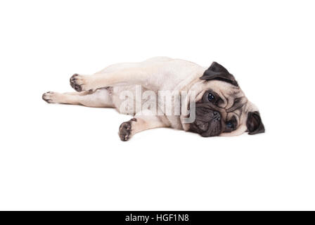 lovely cute pug puppy dog lying down on floor, isolated on white background - Stock Photo