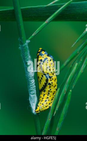 Old World Swallowtail, Papilio machaon - Stock Photo