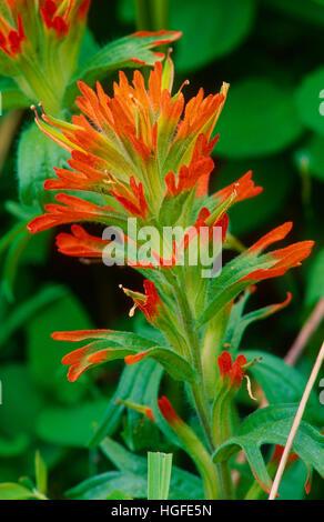 Indian Paintbrush, Castilleja spec., - Stock Photo
