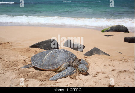 Green Turtles on the Turtle Beach on O'ahu (Hawaii) - Stock Photo