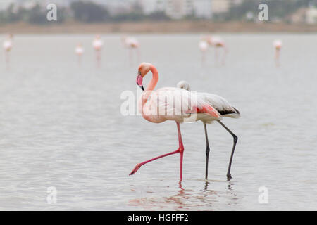 Two Walking Flamingos at Larnaca Salt-lake with Hala Sultan Tekke in the background, island of Cyprus - Stock Photo