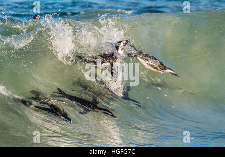 African penguins swimming in ocean wave. The African penguin (Spheniscus demersus), also known as the jackass penguin - Stock Photo