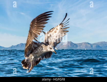 Flying Juvenile Kelp gull (Larus dominicanus), also known as the Dominican gull and Black Backed Kelp Gull. Natural - Stock Photo
