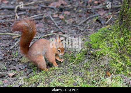 Red Squirrel ( Sciurus vulgaris ) on The Ground Hiding Food - Stock Photo