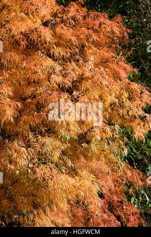 Acer palmatum 'Koto no ito' leaves in Autumn. - Stock Photo