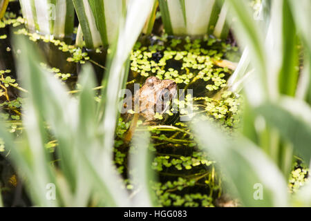 Common Frog in duckweed - Stock Photo