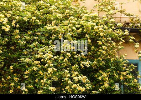 Rosa banksiae 'Lutea' climbing on a wall - Stock Photo