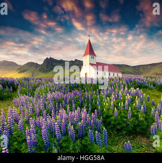 Small church surrounded blooming lupine flowers in the Vik village. Colorful summer sunrise in the Iceland, Europe. - Stock Photo