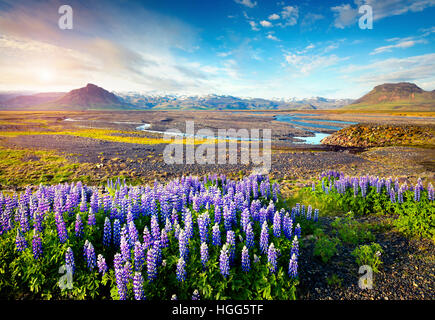 Typical Icelandic landscape with field of blooming lupine flowers in the June.Sunny summer morning in the south - Stock Photo