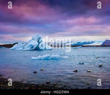 Arctic ducks between blue icebergs in Jokulsarlon glacial lagoon. Colorful sunset in Vatnajokull National Park, - Stock Photo
