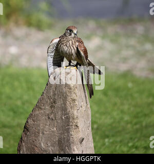 Common Kestrel, also known as European Kestrel, Eurasian Kestrel, Old World Kestrel or simply Kestrel perched on - Stock Photo