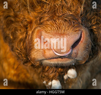 Highland Cattle Bos taurus at in grazing meadow at Cley Norfolk in snow - Stock Photo