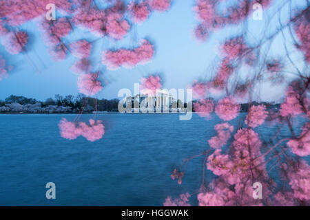 The Thomas Jefferson Memorial is framed by cherry blossoms at sunset. - Stock Photo