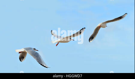 Flight sequence of seagull.  Three birds in blue sky in sequence of flight - Stock Photo