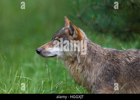 Close up portrait of solitary gray wolf / grey wolf (Canis lupus) in summer - Stock Photo